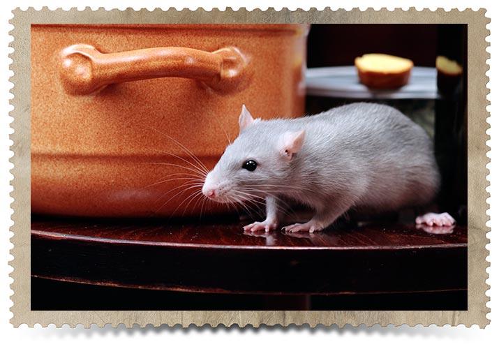 Toronto Commercial Rat Control