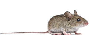 Toronto Rats or Mice Control