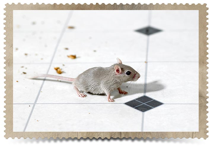 Toronto Residential Mice Control